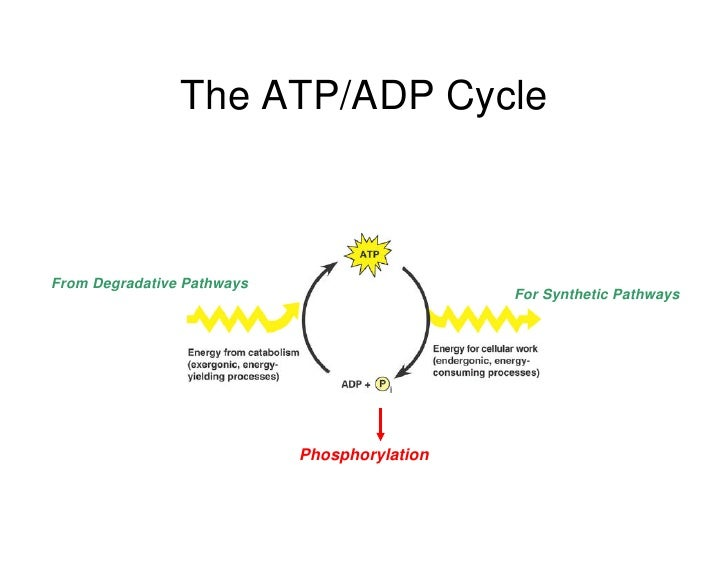 Simple Atp Adp Cycle Diagram Residential Electrical Symbols