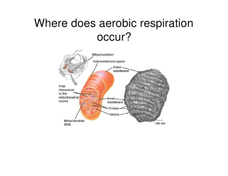 Where Does Respiration Occur Occurs In All Living Cells