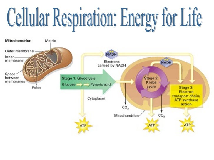 Cellular Respiration Diagram Mitochondria Residential Electrical