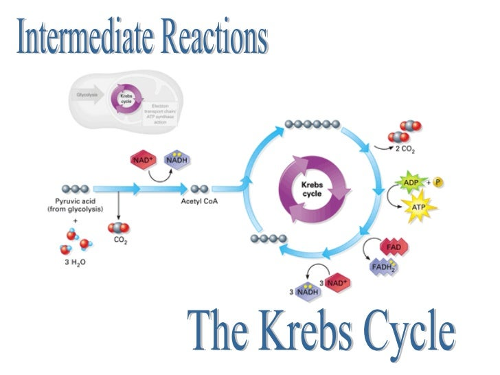 Cellular respiration the krebs cycle intermediate reactions ccuart Choice Image