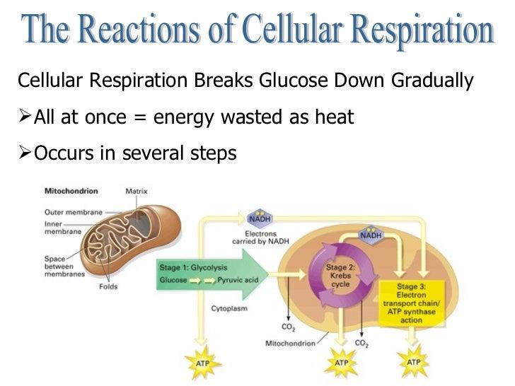 Cellular respiration cell 9 ccuart Choice Image