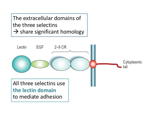 Icam-1 (cd54): A Counter-receptor For Mac
