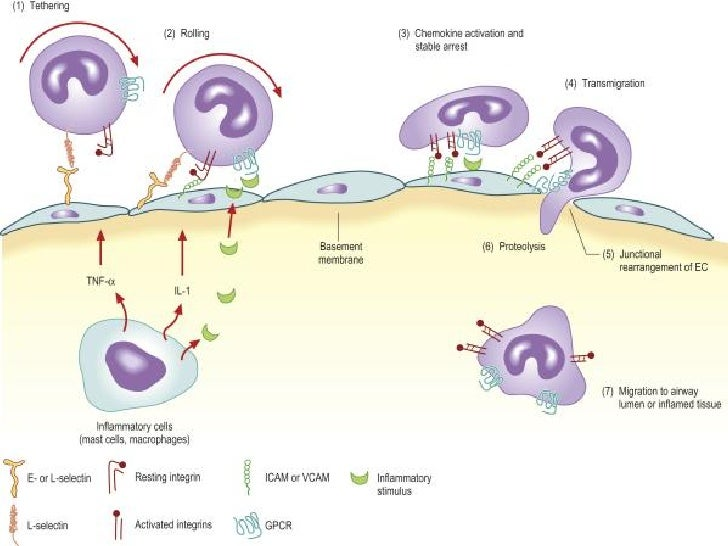Cellular Adhesion Molecules Slide 3