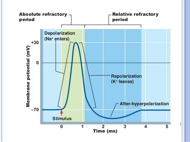 Hyperpolarization (biology)