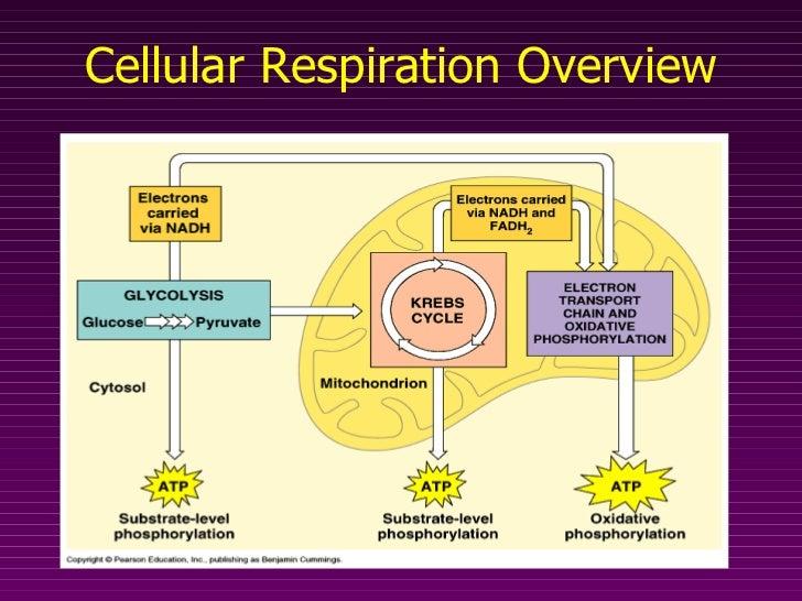 Cellular Energy pt.2