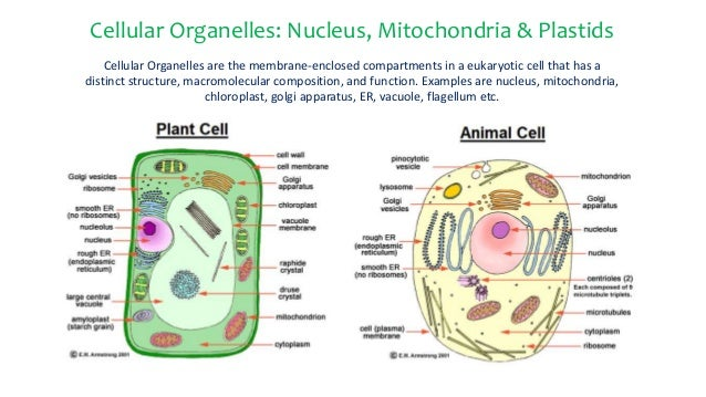 Cellular organelles nucleus mitochondria plastids cellular organelles nucleus mitochondria plastids cellular organelles are the membrane enclosed compartments ccuart Gallery