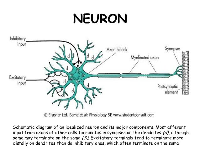 Cellular organization of the nervous system 4 neuronschematic diagram of an idealized neuron ccuart