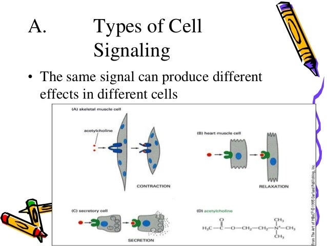Cell signaling a types of cell signaling gap junctions 8 ccuart Image collections