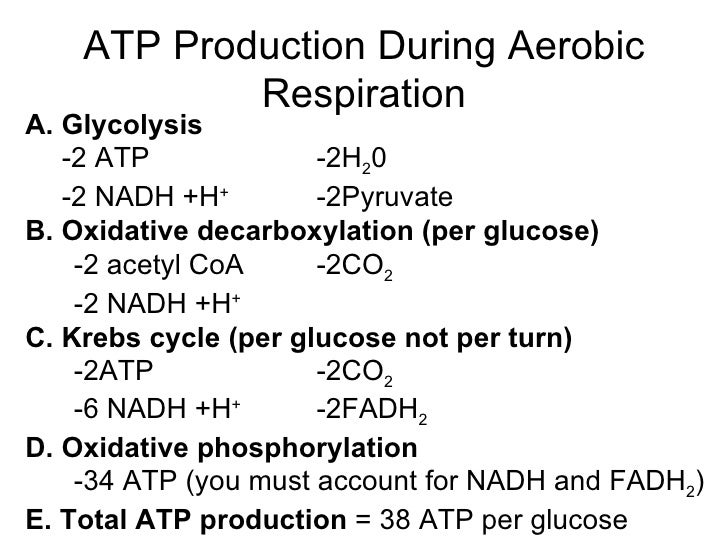 respiration and glycolysis essay