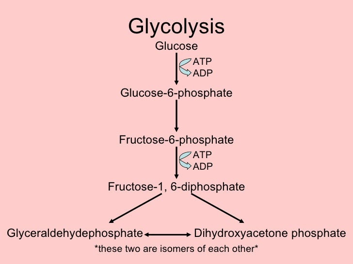 Cellular respiration powerpoint glycolysis ccuart Gallery