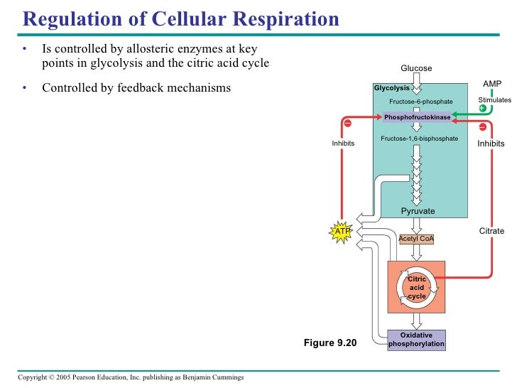oxidative phosphorylation essay Sl/hl-1 biology (5) ferguson search this site previous ib exam essay explain how chemiosmosis assists in atp production during oxidative phosphorylation.