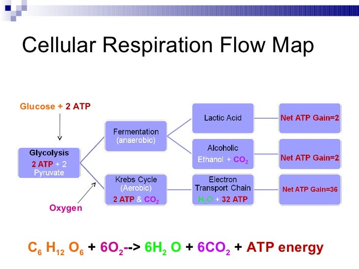 Cellular respiration cellular respiration ccuart Gallery