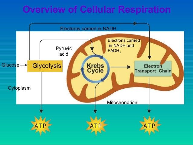 7 Se 1 Glycolysis Where Does Take Place Cytoplasm