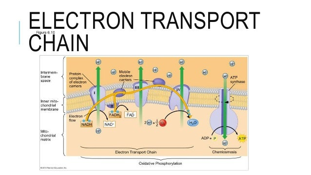 cellular respiration notes Cellular respiration overview •breakdown of glucose begins in the cytoplasm •at this point life diverges into two forms and two pathways •anaerobic cellular respiration (aka fermentation.