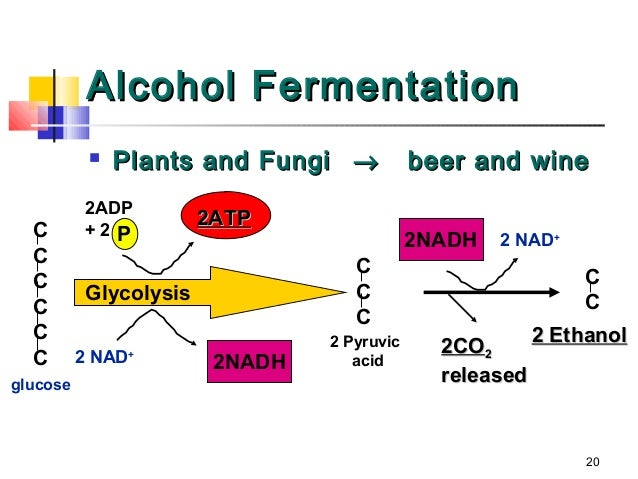 General physiology bio 109 cellular respiration with questions at lactic acid fermentation 20 ccuart Image collections
