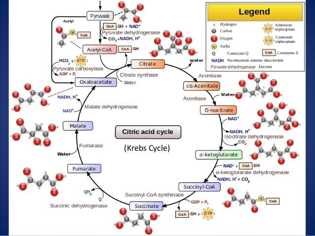Cellular Respiration Updated