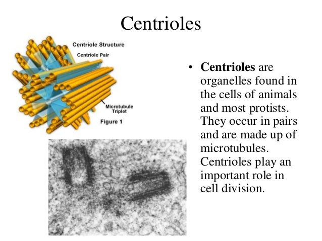 the importance of animal cells I encourage you to look all the different types of plant and animal cells and think about the function that each type of cell may be suited to.