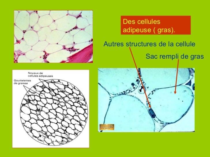 Des cellules adipeuse ( gras). Sac rempli de gras Autres structures de la cellule