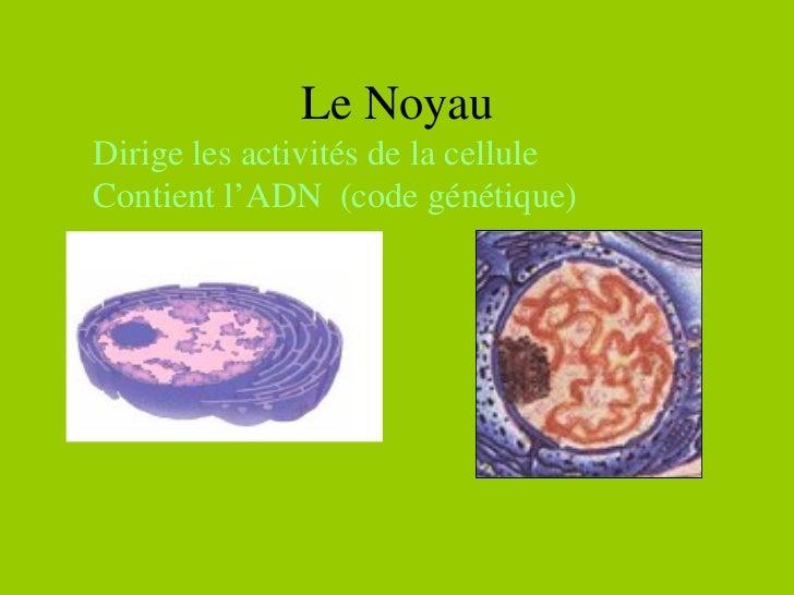 Le Noyau Dirige les activités de la cellule Contient l'ADN  (code génétique)