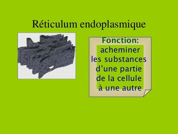 Fonction: acheminer les substances  d'une partie  de la cellule  à une autre Réticulum endoplasmique