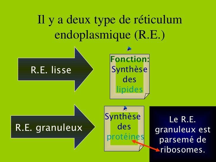 Il y a deux type de réticulum endoplasmique (R.E.) R.E. lisse Fonction: Synthèse des lipides R.E. granuleux Synthèse  des ...