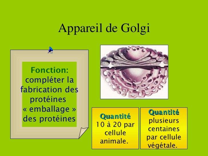 Appareil de Golgi Quantité 10 à 20 par cellule animale.  Quantité plusieurs centaines par cellule végétale.  Fonction: com...