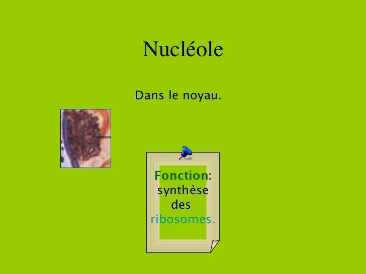 Nucléole Fonction: synthèse des  ribosomes.   Dans le noyau.