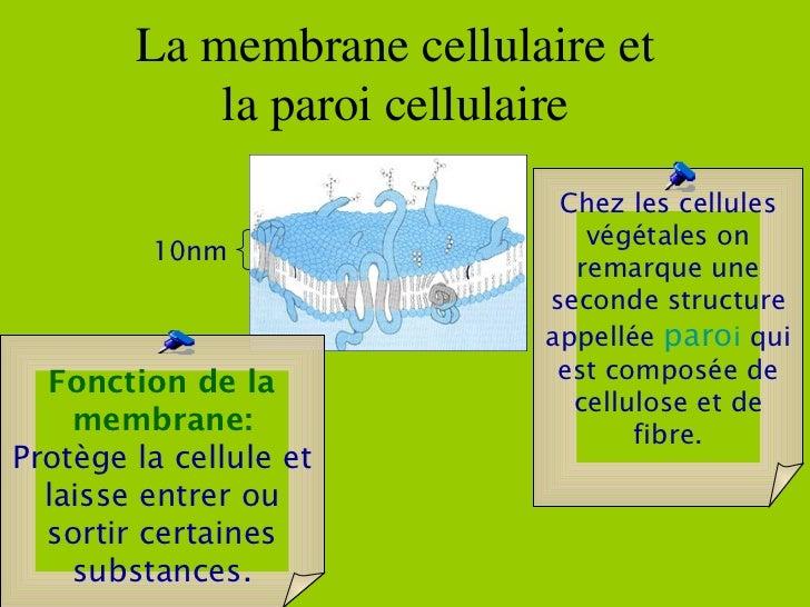 La membrane cellulaire et  la paroi cellulaire  10nm Fonction de la membrane: Protège la cellule et laisse entrer ou sorti...