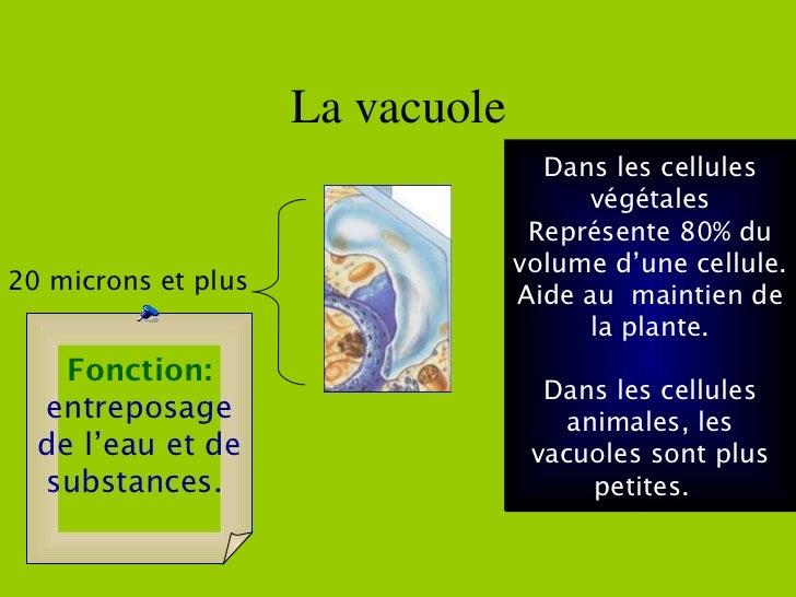La vacuole Dans les cellules végétales Représente 80% du volume d'une cellule. Aide au  maintien de la plante. Dans les ce...