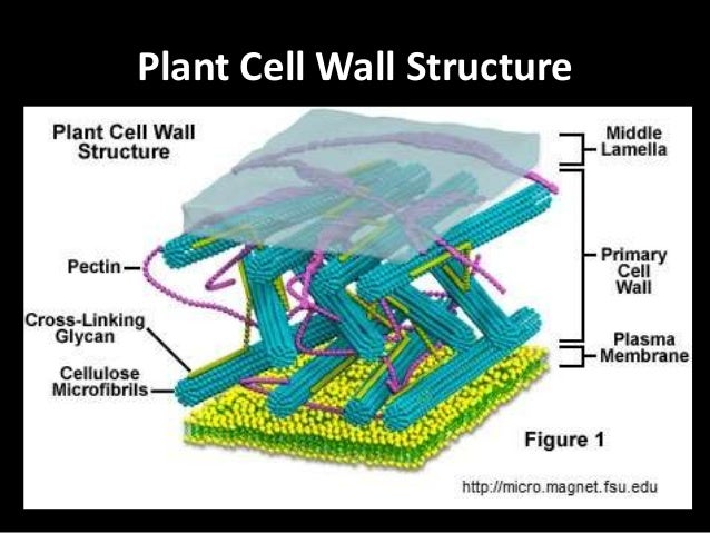 Cellulose cell wall diagram electrical work wiring diagram plant cell wall components and composition rh slideshare net cellulose in water plant cellulose diagram ccuart Choice Image