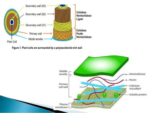 Plant cell wall and its role in defense mechanism composed of cellulose hemicellulose lignin 5 sugars present in cell wall ccuart Choice Image