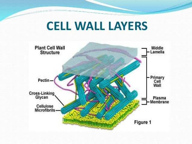 cell wall ppt