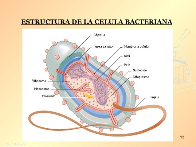 Resultado de imagen de ESTRUCTURA DE LA CELULA BACTERIANA