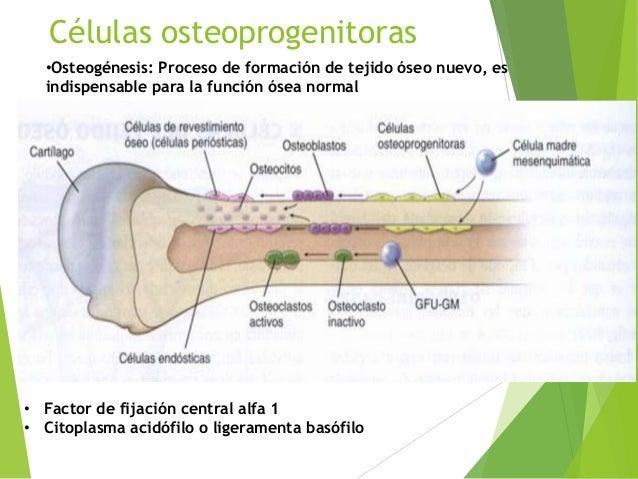 Celulas Del Tejido Oseo