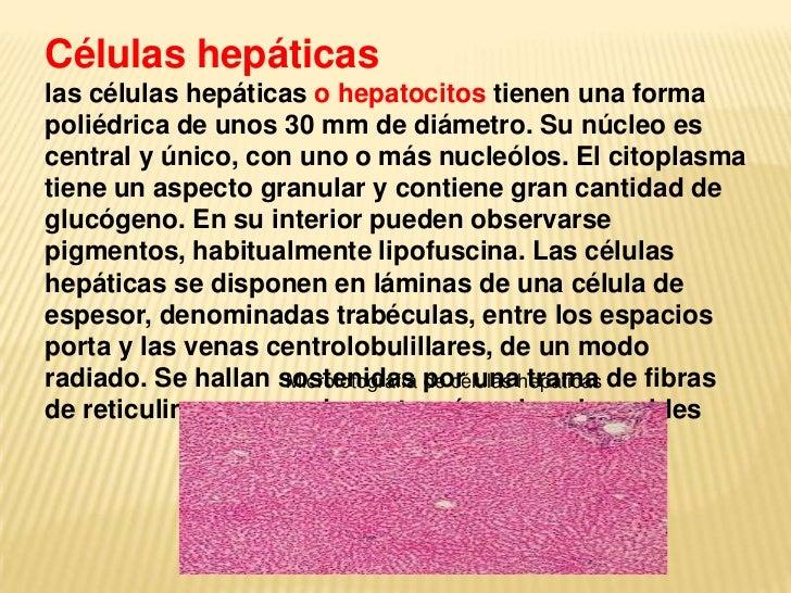 Células hepáticaslas células hepáticas o hepatocitos tienen una formapoliédrica de unos 30 mm de diámetro. Su núcleo escen...