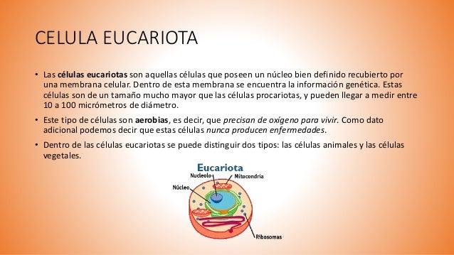 CELULA EUCARIOTA • Las células eucariotas son aquellas células que poseen un núcleo bien definido recubierto por una membr...