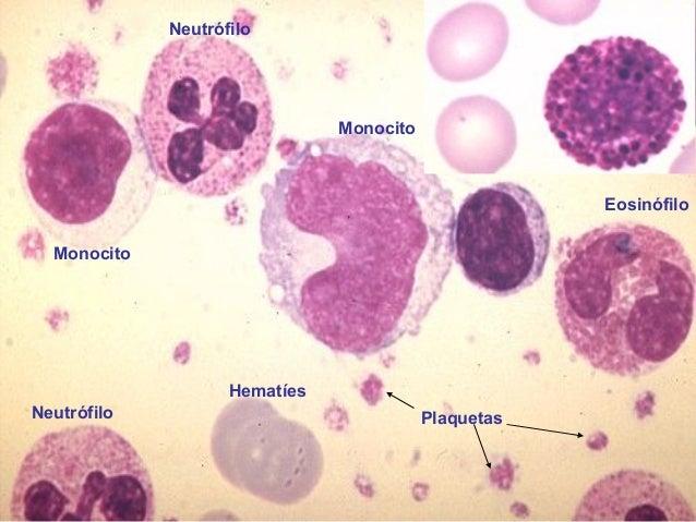 celulas sanguíneas: eritrocitos, leucocitos y plaquetas | Anatomía ...