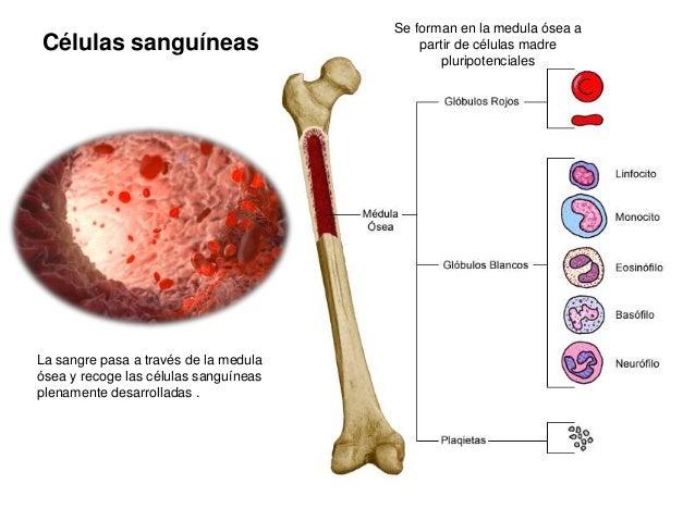 Células sanguíneas - DocCheck Pictures