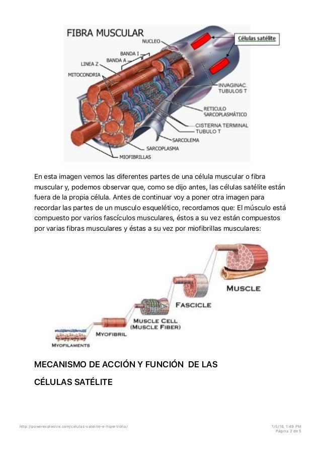 Celulas satelite e hipertrofia
