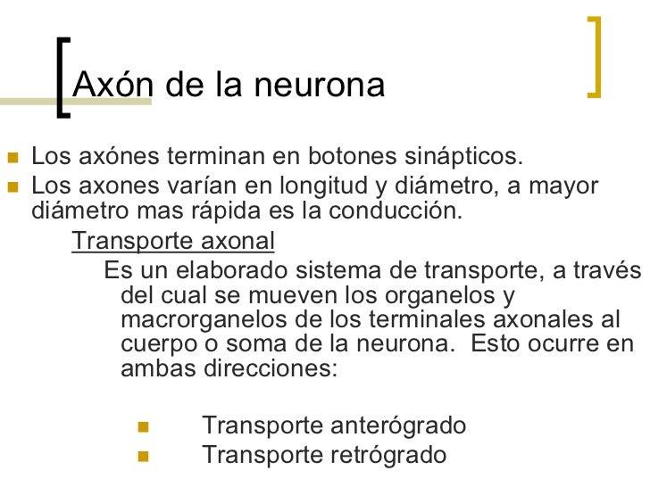Clasificación estructural de las  neuronasNeuronas bipolares  Las podemos encontrar  en la retina, el epitelio  olfatorio,...