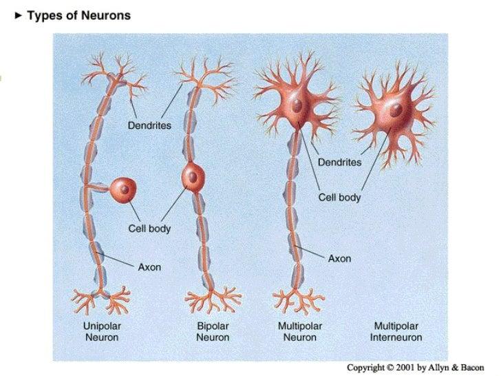 Clasificación estructural de las   neuronasNeuronas multipolaresTienen muchas dendritas.Se encuentran endiferentes áreas d...