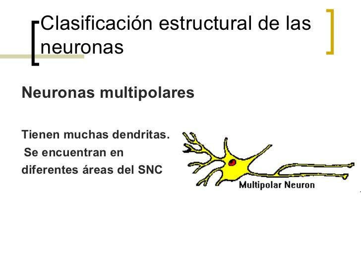 Neuronas Sensorialesn   Se conocen como neuronas aferentes.n   Transmiten el impulso de los receptores      sensoriale...