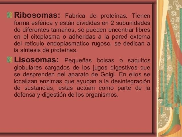 Ribosomas: Fabrica de proteínas. Tienenforma esférica y están divididas en 2 subunidadesde diferentes tamaños, se pueden e...