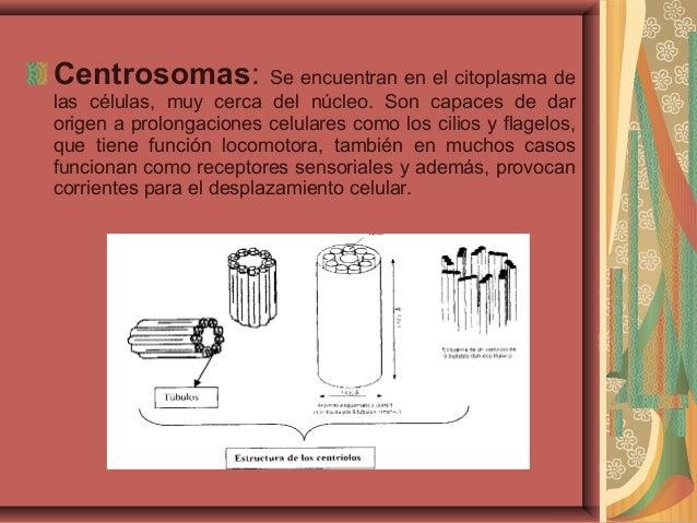 Centrosomas: Se encuentran en el citoplasma delas células, muy cerca del núcleo. Son capaces de darorigen a prolongaciones...