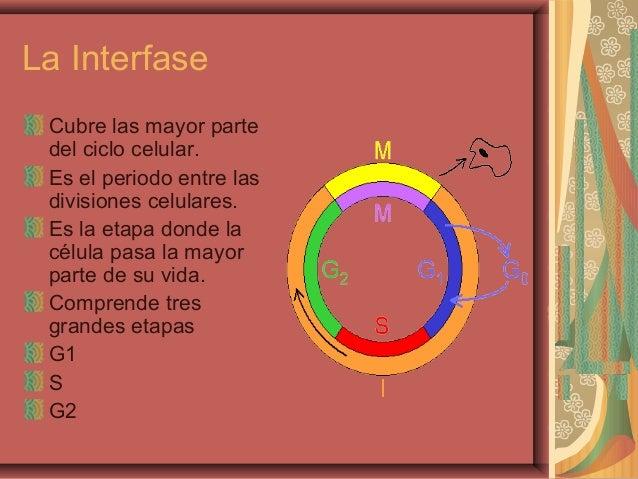 La InterfaseCubre las mayor partedel ciclo celular.Es el periodo entre lasdivisiones celulares.Es la etapa donde lacélula ...