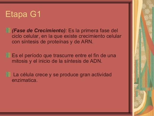 Etapa G1(Fase de Crecimiento): Es la primera fase delciclo celular, en la que existe crecimiento celularcon síntesis de pr...