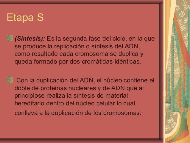 Etapa S(Síntesis): Es la segunda fase del ciclo, en la quese produce la replicación o síntesis del ADN,como resultado cada...