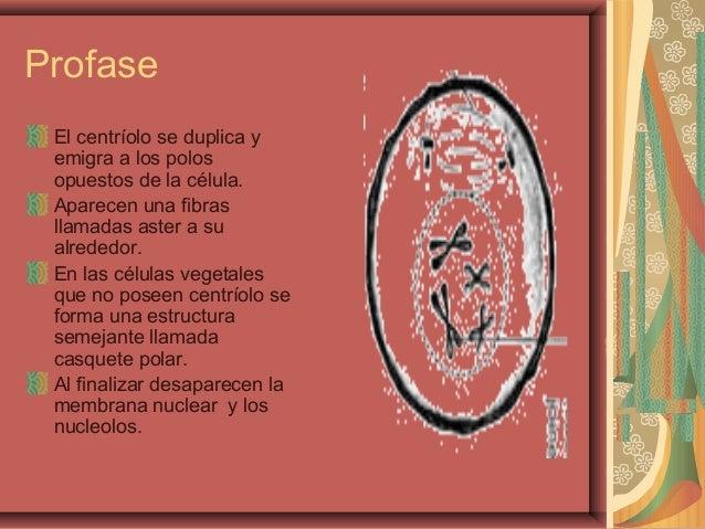 ProfaseEl centríolo se duplica yemigra a los polosopuestos de la célula.Aparecen una fibrasllamadas aster a sualrededor.En...