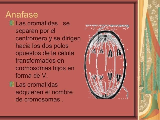 AnafaseLas cromátidas seseparan por elcentrómero y se dirigenhacia los dos polosopuestos de la célulatransformados encromo...