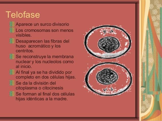 TelofaseAparece un surco divisorioLos cromosomas son menosvisibles.Desaparecen las fibras delhuso acromático y loscentrito...